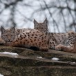 Lynx in winter — Stock Photo #21597897