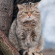 Stock Photo: Wild cat Felis silvestris