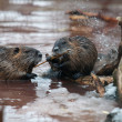 Nutria eating - Stock Photo