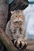 Wild cat Felis silvestris — Stock Photo