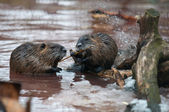 Nutria eating — Stock Photo