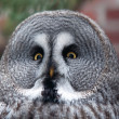 Portrait of great grey owl - Strix nebulosa  — Stock Photo