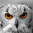 Stock Photo: Owl eyes