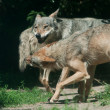 Band of Timber Wolf (Canis lupus) — Stock Photo