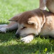 Foto Stock: Sleeping Akita Inu puppy dog on green grass