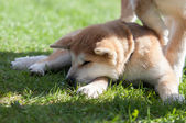 Sleeping Akita Inu puppy dog on green grass — Stock Photo