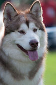Portrait of siberian husky — Foto de Stock