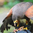 Stock Photo: Hawk eat meat