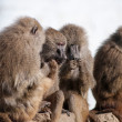 Stock Photo: Gossip monkey