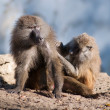 Baboon grooming — Stock Photo #34092871