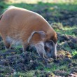 Stock Photo: Red River Hog walking through mud