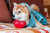 可爱 shiba inu 狗躺在床上用红色的心 — 图库照片
