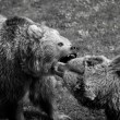 Grizzly bear fight — Stock Photo #47073523