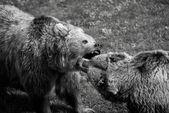Grizzly bear fight — Foto de Stock