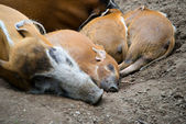 Red river hogs pigs — Stock Photo