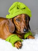 狗在顶绿色的帽子 — 图库照片
