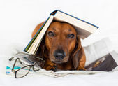 Dog reading a book — Stockfoto