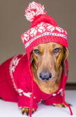 Dog in hat and sweater — Stock Photo