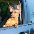 Dog looking out from the car window — Stock Photo