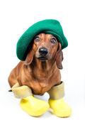 黄色のブーツの犬 — ストック写真