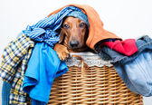 Dog in the basket of clothes — Stock Photo