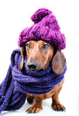 Dog in purple hat — Stock Photo
