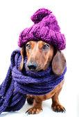 Dog in purple hat — Stock Photo