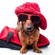 Stylish dog — Stock Photo