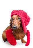 A dog in a warm hat — Stock Photo