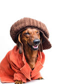Dog wearing a cap and jacket — Stock Photo