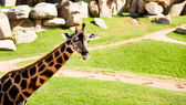 Giraffe photo from the trip to the zoo — Stockfoto