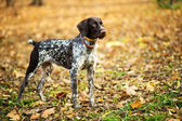 The brown dog play at in the park — Stock fotografie