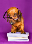 Cute dog posing to a camera — Stock Photo
