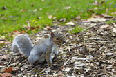 Squirrel on the grass in the park — Stock Photo