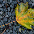 Colourful autumn leaf on a grit — Stock Photo