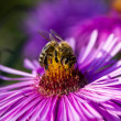 Stock Photo: Honeybee