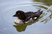Goldeneye, Bucephala clangula — Stock Photo