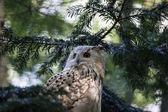 Siberian eagle owl, Bubo bubo — Stock Photo