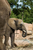 Baby elephant, Elephantidae — Stock Photo