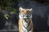Tiger, Panthera tigris — Stock Photo