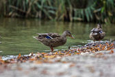 Mallard, duck Anas platyrhynchos — Stock Photo