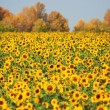 Royalty-Free Stock Photo: Autumn landscape sunflowers field