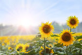 Summer time: Three sunflowers at dawn with natural backgroung — Foto Stock