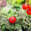 Little green mushrooms and red berries on the moss on natural gr — Stock Photo