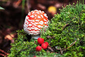 Fly-agaric in forest with little green mushrooms and red berry — Stock Photo