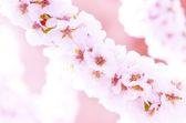 Blooming sacura or cherry tree — Stock Photo