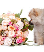 Pomeranian puppy with bouqet of flowers isolated on white backgr — Stock Photo
