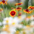 Fire flowers and dandelions in nature — Stock Photo #48793177