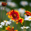 Fire flowers and dandelions in nature — Stock Photo #48793247