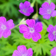 Wood Cranesbill flowers (Geranium sylvaticum) in natural backgro — Stock Photo #48793287
